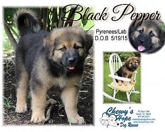 Great Pyrenees/Labrador Retriever Mix Puppy for adoption in Boyd, Texas - Black Peper