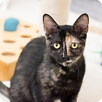 Adopt A Pet :: Spicy - Fountain Hills, AZ