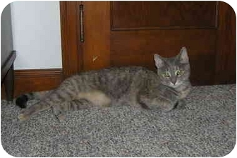 Domestic Shorthair Cat for adoption in Sheboygan, Wisconsin - Tabitha