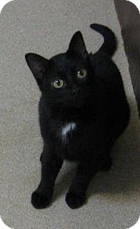 Domestic Shorthair Cat for adoption in Gary, Indiana - Ida