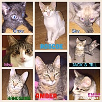 American Shorthair Kitten for adoption in Malvern, Arkansas - Lots of kitties -boys & girls
