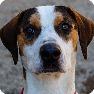 Foxhound/Hound (Unknown Type) Mix Dog for adoption in Decatur, Georgia - MOONSHINE