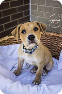 Labrador Retriever Mix Puppy for adoption in Charlotte, North Carolina - Margo