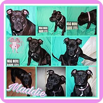 American Staffordshire Terrier Dog for adoption in St. Charles, Missouri - Maddie
