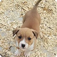 Adopt A Pet :: Chip $250 - Seneca, SC