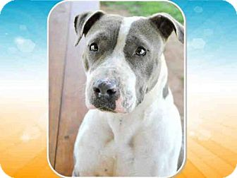 Pit Bull Terrier Dog for adoption in Grovetown, Georgia - ROXIE