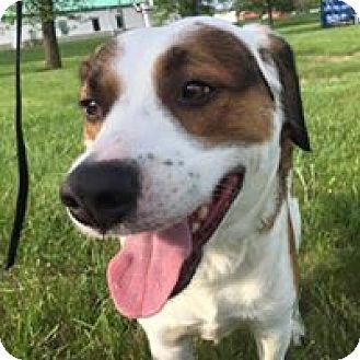 Beagle/St. Bernard Mix Dog for adoption in Mechanicsburg, Pennsylvania - Barney