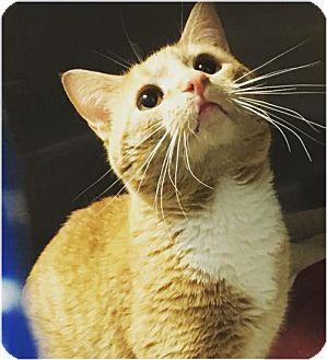 Domestic Shorthair Cat for adoption in Sanford, North Carolina - Blaze