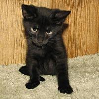 Adopt A Pet :: Mr Meow (baby boy) - Harrisburg, PA