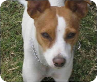 Jack Russell Terrier Dog for adoption in Scottsdale, Arizona - LUCY