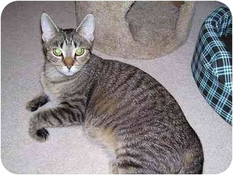 Domestic Shorthair Cat for adoption in West Warwick, Rhode Island - Cora