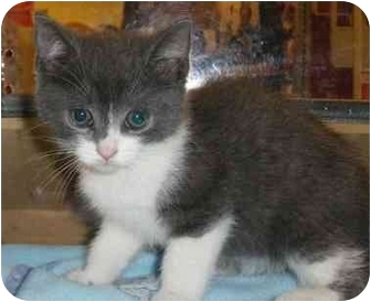 Domestic Shorthair Kitten for adoption in Toronto, Ontario - Pooky
