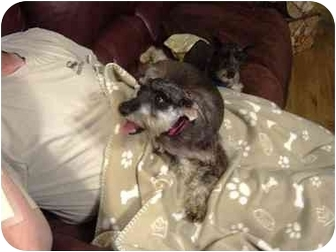 Schnauzer (Miniature) Dog for adoption in Bethel Springs, Tennessee - Milley