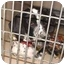 Photo 1 - Dalmatian Puppy for adoption in Mandeville Canyon, California - Samantha 2
