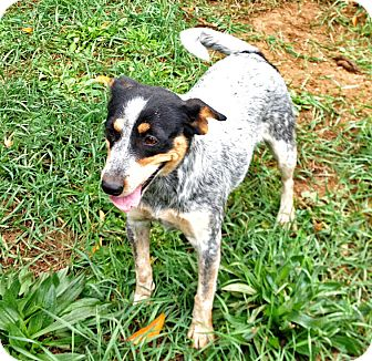 Cattle Dog/Jack Russell Terrier Mix Dog for adoption in Brighton, Michigan - Carmen