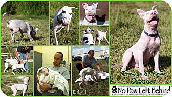 American Staffordshire Terrier Mix Dog for adoption in Davie, Florida - Casper
