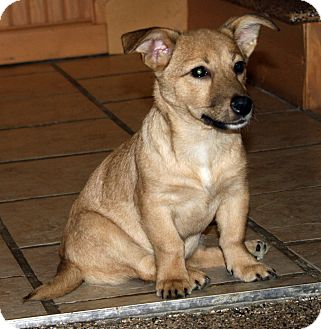 Dachshund Mix Puppy for adoption in Marietta, Georgia - Samba