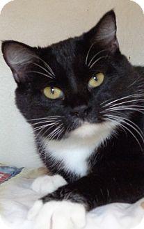 Domestic Shorthair Cat for adoption in Charles City, Iowa - Sabrina
