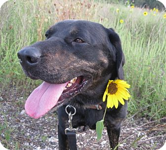 Labrador Retriever/Rottweiler Mix Dog for adoption in Geneseo, Illinois - Rudy