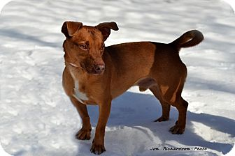 Jack Russell Terrier/Dachshund Mix Dog for adoption in kennebunkport, Maine - Red - PENDING, in Maine!