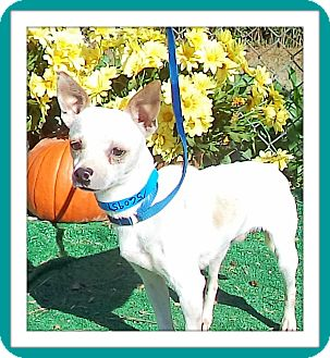 Chihuahua Dog for adoption in Marietta, Georgia - CHARLIE