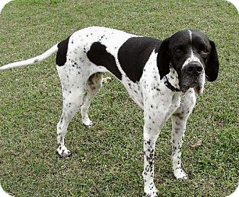English Pointer Dog for adoption in Salem, New Hampshire - PICASSO