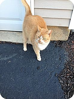 Domestic Shorthair Cat for adoption in Hamilton, New Jersey - Peepers