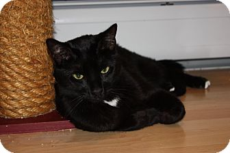 Domestic Shorthair Cat for adoption in Little Falls, New Jersey - Huey (LE)