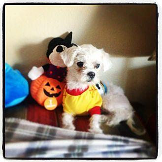 Maltese Mix Dog for adoption in Seattle, Washington - Sheriff