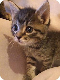 Domestic Shorthair Kitten for adoption in Nashville, Tennessee - Nate