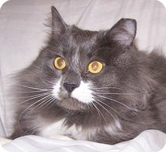 Domestic Longhair Cat for adoption in Parkville, Missouri - Scooter