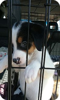 Pointer/Border Collie Mix Puppy for adoption in East Hampton, New York - Mya