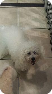 Poodle (Miniature)/Maltese Mix Dog for adoption in Valencia, California - Quentin
