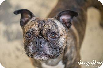 Pug/Boston Terrier Mix Dog for adoption in Greensburg, Pennsylvania - Spence