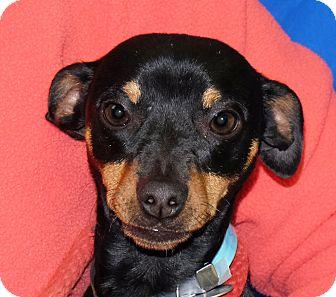 Miniature Pinscher Mix Dog for adoption in Spokane, Washington - Doritos
