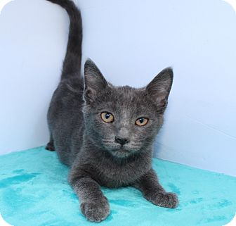 Russian Blue Kitten for adoption in Santa Monica, California - Anaabelle