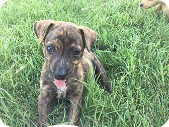 Blue Heeler/Catahoula Leopard Dog Mix Puppy for adoption in Austin, Texas - Bubble Gum