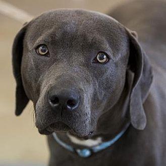 Weimaraner/Mastiff Mix Dog for adoption in Grand Haven, Michigan - Booker
