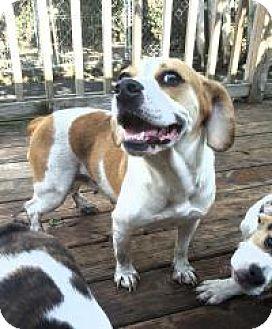 Beagle/English Bulldog Mix Dog for adoption in Cleveland, Ohio - Autumn