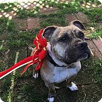 Adopt A Pet :: Nina, terrific girl - Sacramento, CA