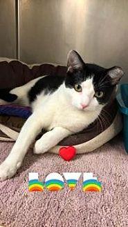 Domestic Shorthair Cat for adoption in Yukon, Oklahoma - Tyson