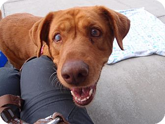 Chesapeake Bay Retriever/Labrador Retriever Mix Dog for adoption in Madison, Wisconsin - Bailey:Pending!