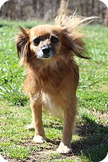 Papillon Mix Dog for adoption in Waldorf, Maryland - Papillion