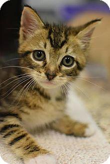 American Shorthair Kitten for adoption in Aiken, South Carolina - Dallas