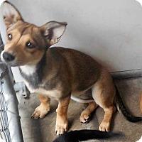 Adopt A Pet :: Noodles (Has Application) - Washington, DC
