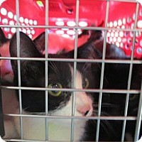 Domestic Shorthair Kitten for adoption in Oakland, California - Matisse