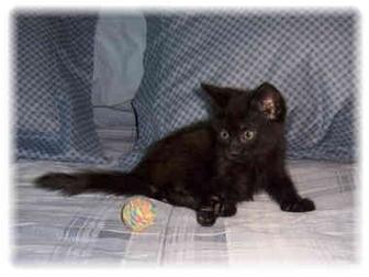 Domestic Shorthair Kitten for adoption in Brighton, Michigan - Ceasar