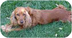 Cocker Spaniel Dog for adoption in San Diego, California - Deanna