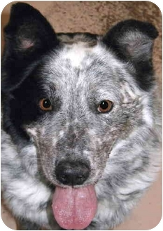 Australian Shepherd Mix Dog for adoption in Grass Valley, California - Razzie