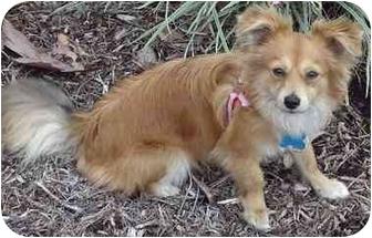 Tibetan Spaniel/Pomeranian Mix Puppy for adoption in Los Angeles, California - Bacardi